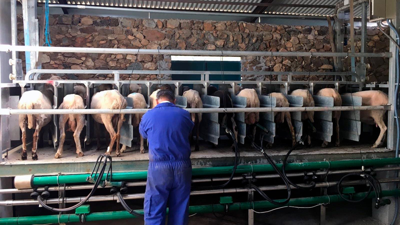 ordeñando las ovejas