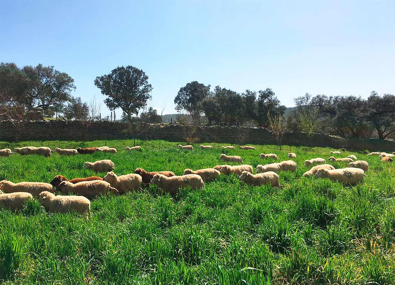 Rebaño de Ovejas (Manejo Ecológico)