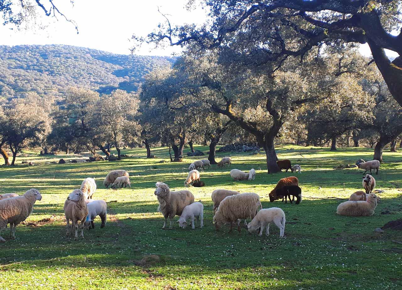 Ovejas Pastando (Manejo Ecológico)